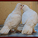 DOVES IN LOVE !!!!!!!!!!!!!