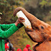 Milk Time, David Sheldrick Wildlife Trust, Nairobi