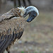 Happy Halloween - White-backed Vulture - 9620b+