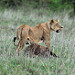 A lioness (Panthera leo) carrying the carcass of a buffalo calf over long distances to feed her cubs at Nairobi National Park, Kenya